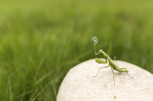 praying-mantis-438396_640